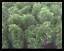 Arborvitae-Thuja-Emerald-Green-4-inch-pot-Lot-of-30 thumbnail 1