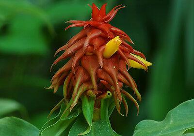 Costus Lima - Spiral Ginger - Rare Tropical Plant Seeds (5)