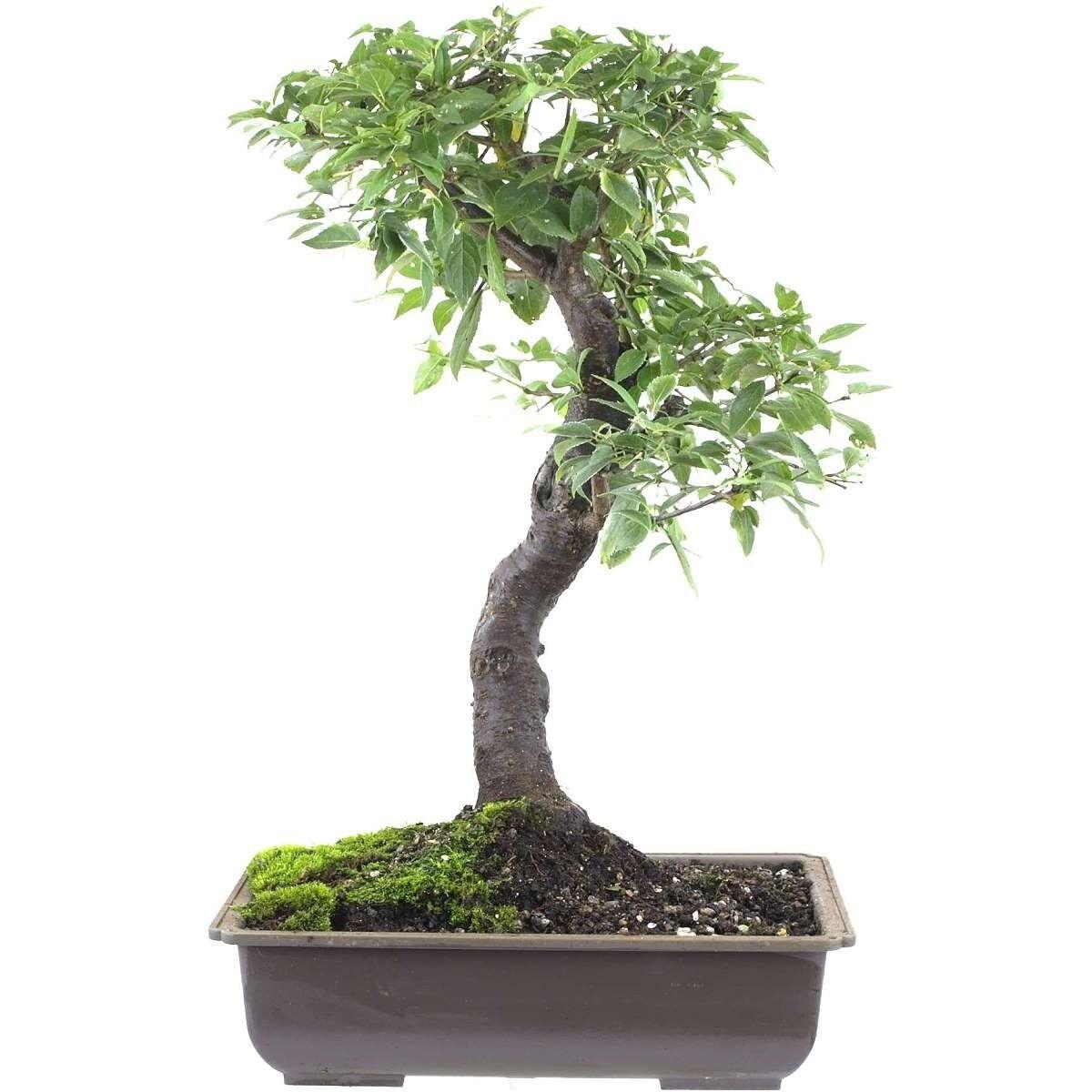 Kirsch Prugna, bonsai, 14 anni, 49cm (141-43)