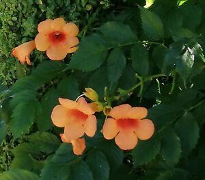 Garten-Pflanzen-Samen-winterhart-Zierpflanze-Saatgut-Rankpflanke-KLETTERTROMPETE
