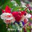 9-sortes-de-FUCHSIA-Vivace-Fleurs-Bonsai-en-pot-Bell-100-PIECES-Graines-Rare-2019 miniature 1