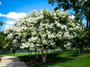 25 White Acoma Crepe Myrtle Tree Seeds