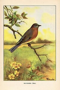 """1926 Vintage TODHUNTER BIRDS /""""BLUE JAY/"""" GORGEOUS 90 YEARS OLD Color Lithograph"""