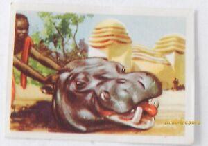Image CHROMO Chocolat MARTOUGIN N°H7 pour Album Chasseurs de Fauves