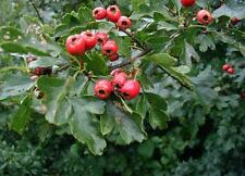 European Hawthorn - Crataegus Monogyna - 100 seeds - Tree - Hedging - Berries