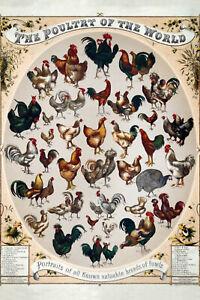 Poultry-Volaille-Of-The-Monde-Panneau-Metallique-Plaque-Etain-Signer-20-X-30-CM