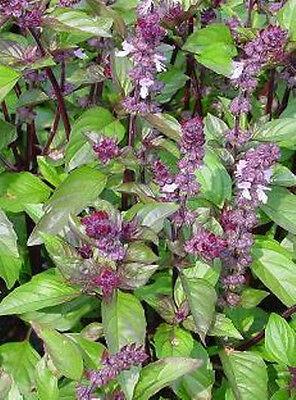 BASIL 'Cinnamon' 100 seeds HERB vegetable HEIRLOOM herb garden culinary scented