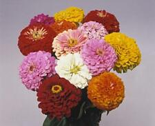 Zinnia Benary Giant Mix Annual Seed
