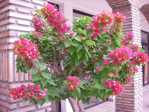 BOUGAINVILLEA ARBUSTIF NAIN MINI THAI