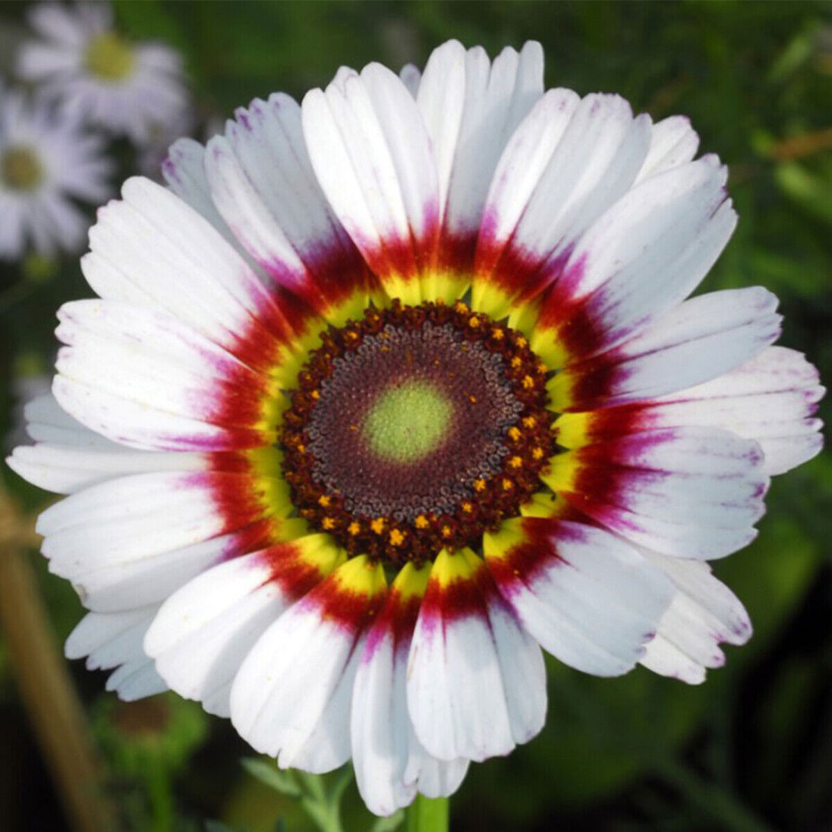 50 Giant Cape Wild Daisy Flower Seeds to Grow 60cm Colourful Plants Zulu Prince