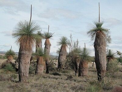 GRASS TREE (Xanthorrhoea drummondii) 30 seeds