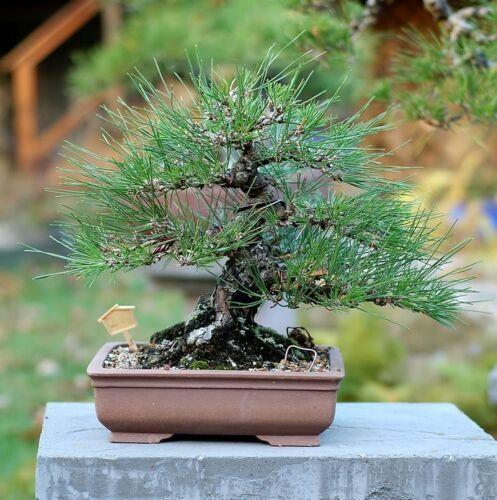 graines de pins noirs Pinus thunbergii japonais