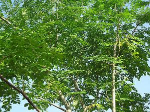 SUPER SPECIAL DEAL!! MORINGA Oleifera STX-1 Most Hardy Organically Grown SEEDS