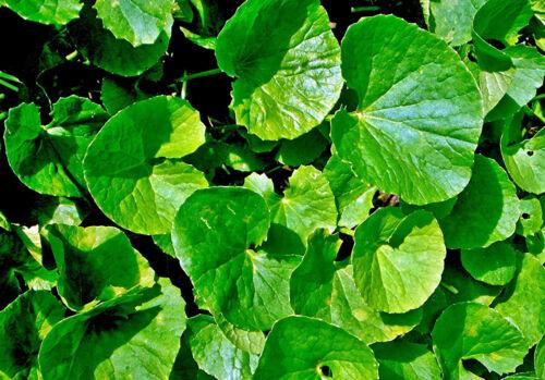 Semi freschi Centella Asiatica marzo 2020 Centella asiatica Indiano wassernabel