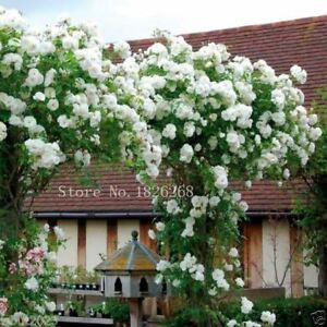 Image Is Loading 30 Pcs Uk Mix Climbing Rose Seed White