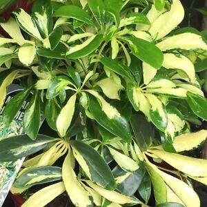 Exceptional Image Is Loading MADAM DE SMET Schefflera Arboricola Green Amp Gold