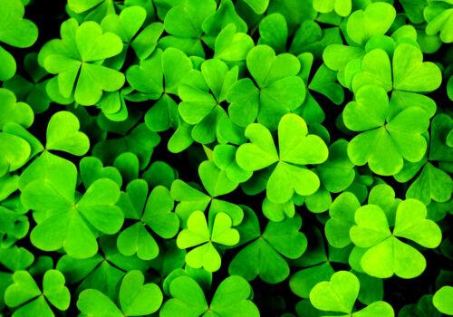 3000 Samen Klee Irish Drei Blätter Kleeblatt Trifolium Dubium