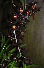 Catasetum Brent's Black Hawk x Ctsm. Chuck Taylor new and very impessive hybrid!