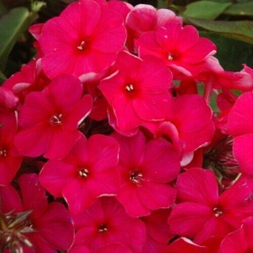 Flammenblume Phlox paniculata NEWBIRD 1x Staude Pflanzfertig Garten