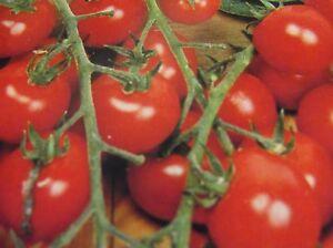Kirschtomate Cerise,Süß,Tomatenpflanze Tomatensamen, Sämereien Selten,P.20