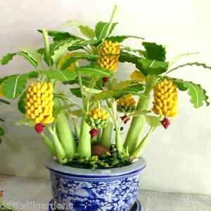 30 Seeds Bonsai Mini Banana Seeds Imported Good Germination Seeds
