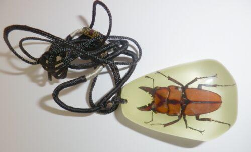 Insect Large Necklace Little Stag Beetle Prosopocoilus blanchardi Specimen Glow