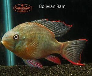 Bolivian Ram - South American Cichlids Mikrogeophagus altispinosus