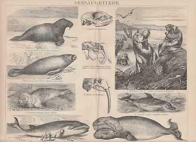 Der GüNstigste Preis Wal Finnwal Robben Delphin Holzstich Von 1886 Walross Walfisch Seehund