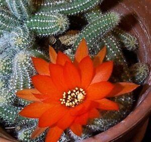 PEANUT-CACTUS-ECHINOPSIS-CHAMACEREUS-Orange-Flowering-Cactus-Plant