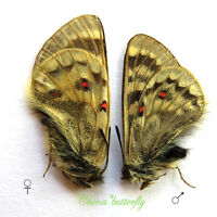 PAIR unmounted butterfly Papilionidae Parnassius simo A1 #1