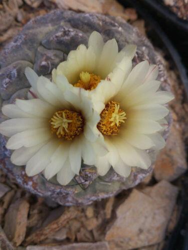 10 Strombocactus disciformis subsp jarmilae PENA MILER no ariocarpus agave