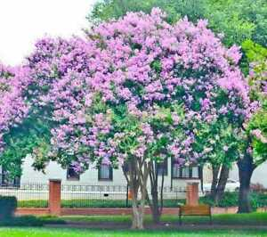 4 pack Muskogee Crepe Myrtle Trees-LAVENDER BLOOMS Qt size-1 ft tall