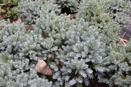 Juniperus squamata `Blue Star`,Blau Wacholder langsam wachsend Zwergwacholder
