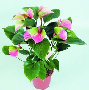Anthurium Pink+green Seed, Anthurium Andraeanu Seeds, Indoor Potted ...