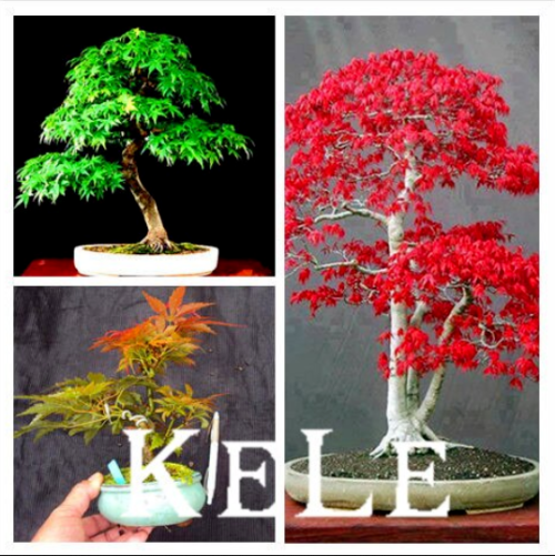 Japanese Red Maple Bonsai Tree 20 Seeds Local Farmer Real Seeds Mini Tree Hot For Sale Online Ebay