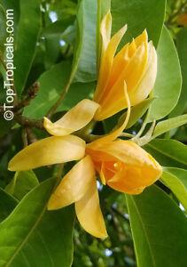 Michelia-Magnolia-champaca-Orange-Champak-Fragrant-Champaca-Sapu-10-Samen