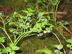 100-Samen-Wald-Heidelbeere-Vaccinium-myrtillus-Blaubeere-Schwarzbeere