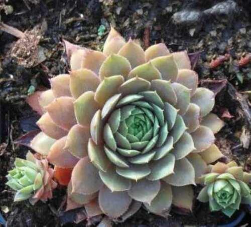 EDERA ockerwurz-Sempervivum Cultorum