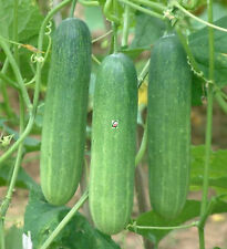 Hybrid Green Cucumber Seeds for Commercial Business Farming Cultivation 100 Nos