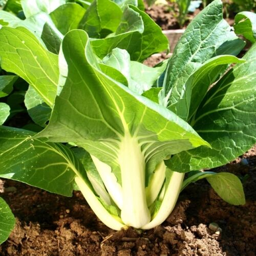 800 SEEDS White  Brassica chinensis vegetable fruit CABBAGE CHINESE PAK CHOI