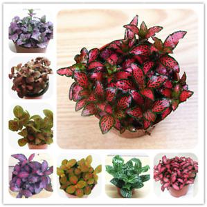 Fittonia-Verschaffeltii-Bonsai-Mini-Balcony-Potted-Flowers-Garden-100-Pcs-Seeds