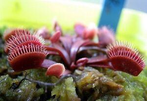 Semi-10-di-Dionaea-muscipula-039-dark-red-form-039-pianta-carnivora-guida