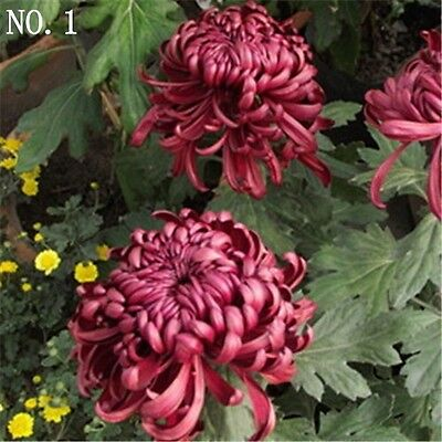 Deep purple Chrysanthemum seed  courtyard plant balcony decoration 30 seeds NO.1