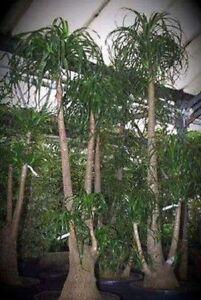 elefantenfu palmen pflanzen f r drinnen schnellw chsige. Black Bedroom Furniture Sets. Home Design Ideas