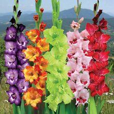 5 Gladiolus Light Mix Color Giant Radius Large Flower Bulb Perennial Summer