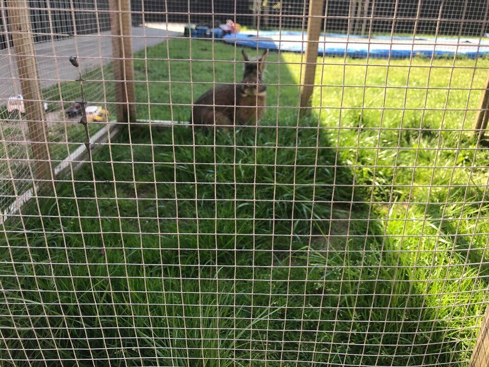 Kanin, Løvehoved og hermelin, 1 år