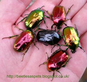 Insect grub feeder 5 x L3 Protaetia aeruginosa flower beetle larvae