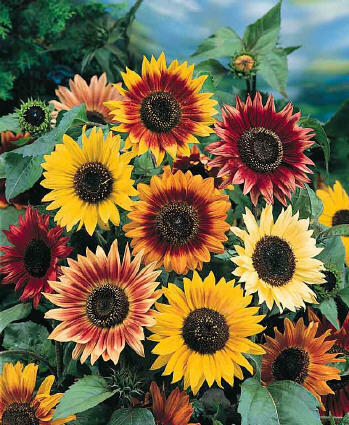 ON SALE FREE POST AUSTRALIA Autumn Mixed Sunflower Seeds Exotic Red/Gold/Black