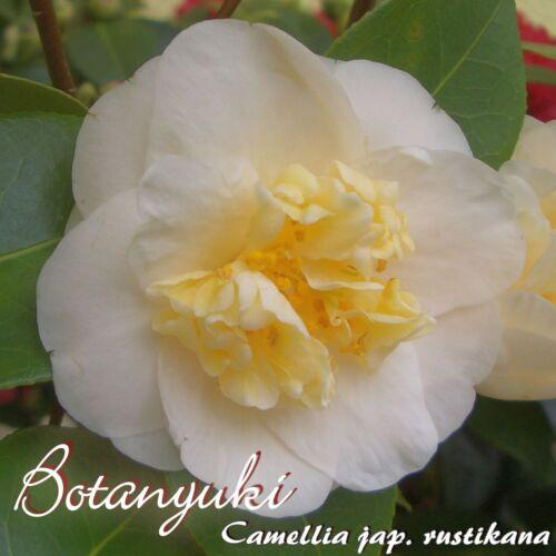 "Kamelie /""Botanyuki/"" Camellia japonica 4 bis 5-jährige Pflanze"