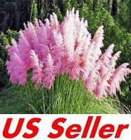 200 PCS Pink Pampas Grass Seeds T16, Ornamental Cortaderia Selloana Grass Seed